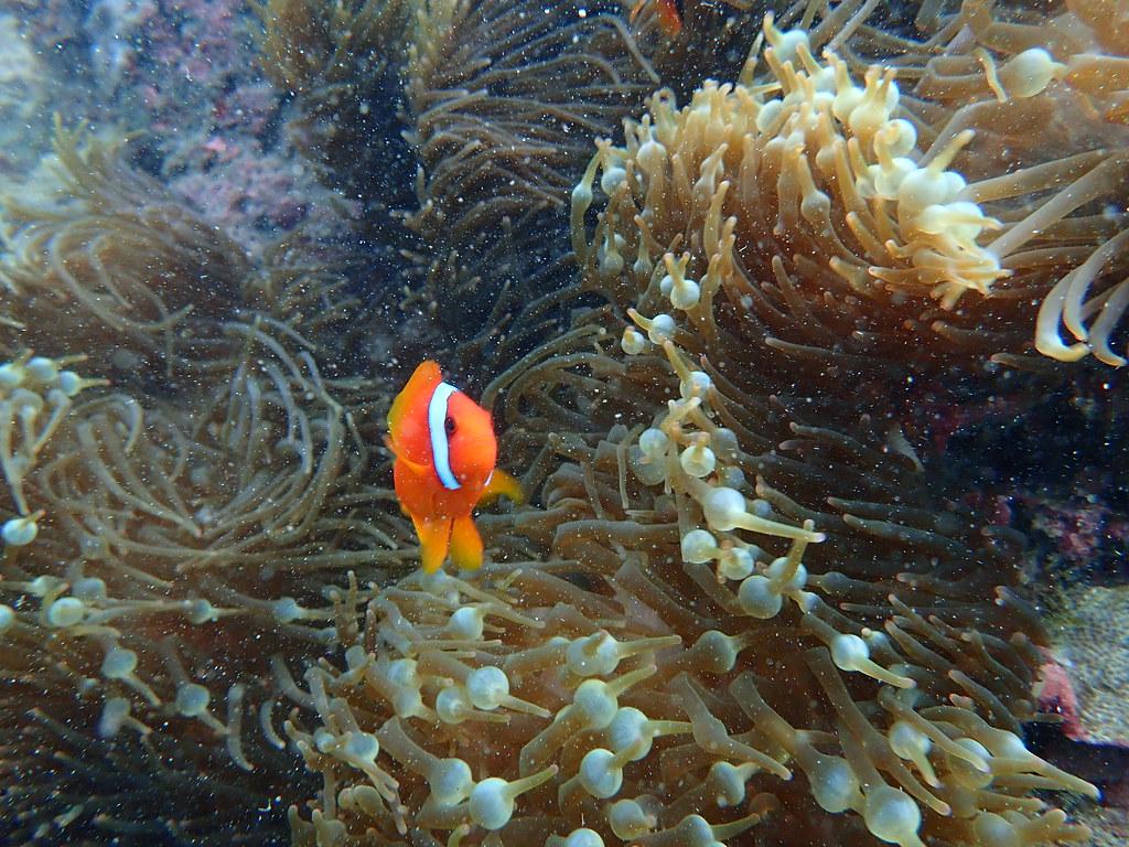 台灣以北回歸線為界,以南的珊瑚因常年溫度適合,因此會造礁;以北的珊瑚,度冬自顧不暇,因此未有造礁現象。攝影:蕭伊真