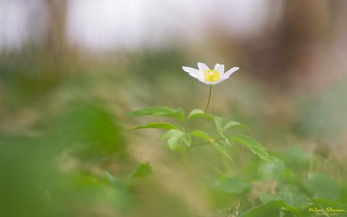 wimboon canoneos5dmarkiii canon100mmf28lismacro hoekzoeker alblasserwaard alblasserdam holland nederland netherlands natuur nature wood spring voorjaar