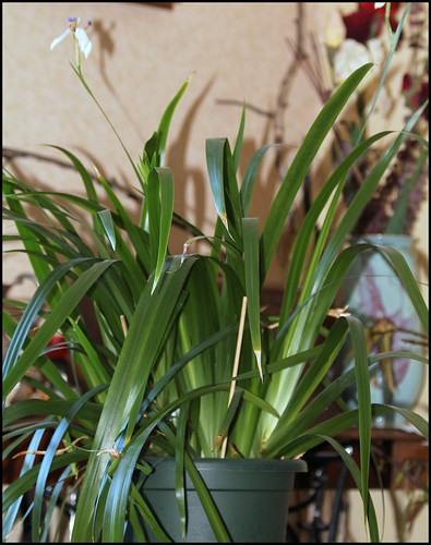 Neomarica gracilis - Page 4 46735390424_b0a53d66e7