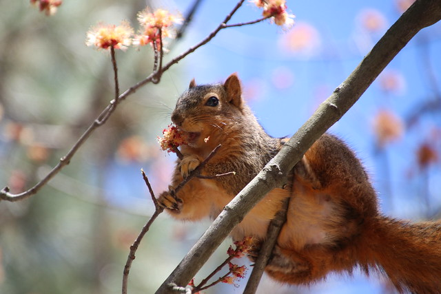 302/365/3954 (April 9, 2019) - Fox Squirrels on a Warm, Spring Day at the University of Michigan - April 9th, 2019