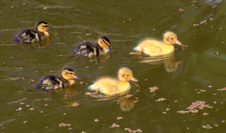 Cute ducklings on the canal at Preston   by Tony Worrall