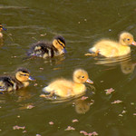 Cute ducklings on the canal at Preston