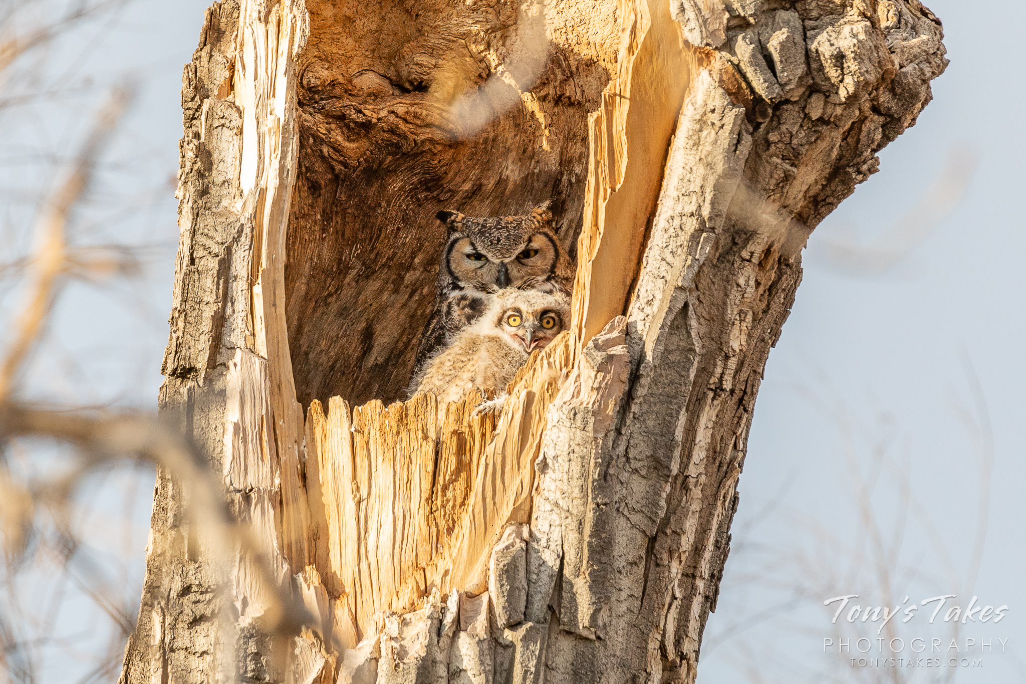 A great horned owlet seems to smile while its mother seems less than enthused. (© Tony's Takes)