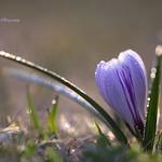 紫色のクロッカス