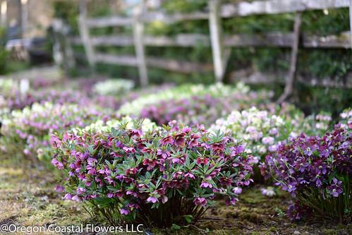 Hellabore | by Oregon Coastal Flowers