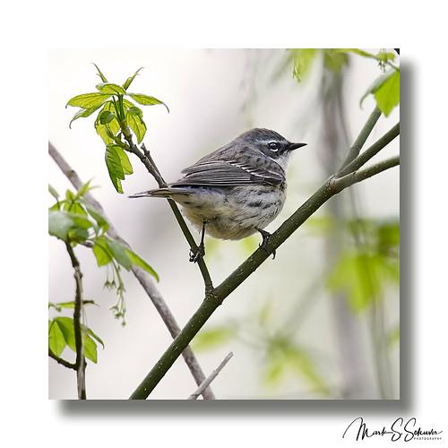 yellowrumpedwarbler warbler buschgreenway stcharlescounty weldonspring missouri nikon d850 600mmnikkor