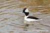 Bufflehead (Bucephala albeola), adult male breeding DSC_7096 by fotosynthesys