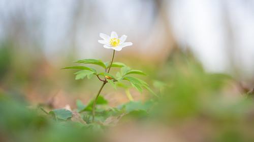 wimboon bosanemoon canoneos5dmarkiii canon100mmf28lismacro macro macrofotografie voorjaar spring hoekzoeker nederland netherlands natuur nature alblasserwaard alblasserdam