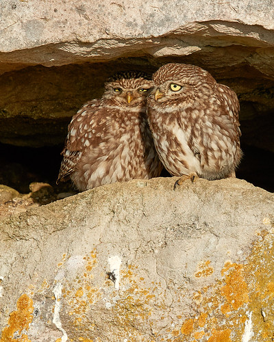 LITTLE OWLS BIG LOVE | by Robin Procter