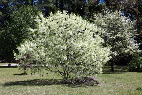 chionanthusvirginicus fringetree tree fairfieldharbour northcarolina panasonic