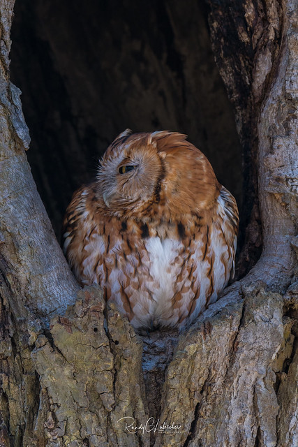 Eastern Screech Owls of NJ | 2018 - 1 [EXPLORED]