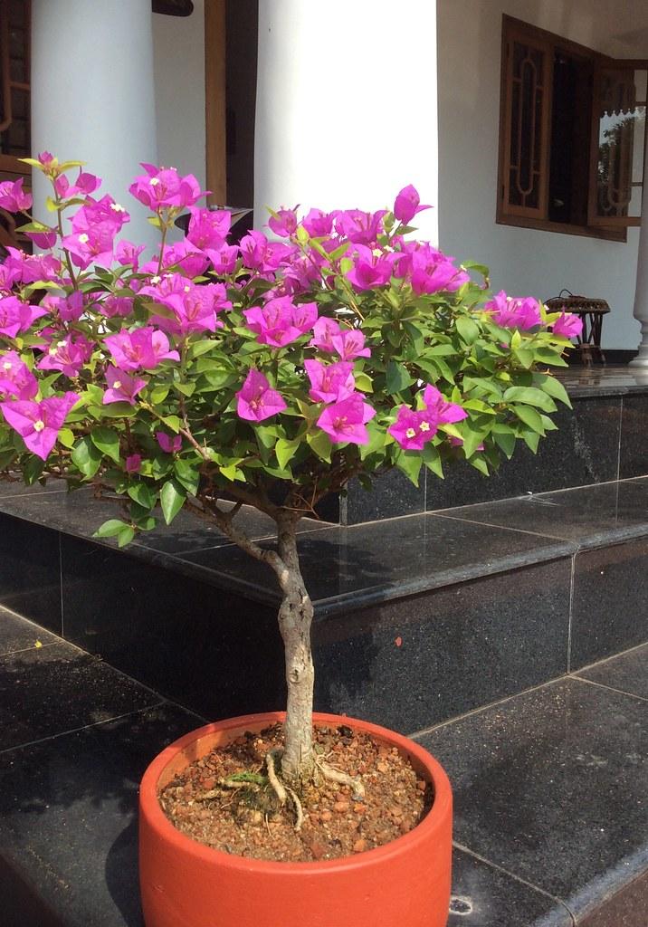 Purple Bougainvillea bonsai eight years old, from Tamarind Bonsai, Kottayam. -