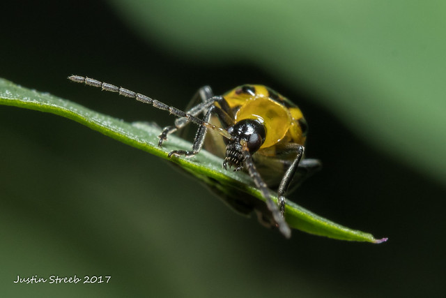 Spotted Cucumber Beetle 8
