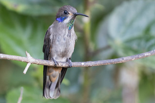 Brown Violetear - Colibri delphinae | by kenchamberlain