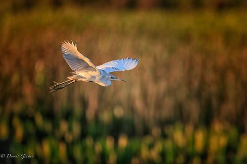 action background bird flight florida heron immature littleblueheron sunrise vierawetlands wildlife melbourne unitedstates us