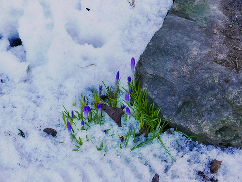 Rise of the Crocuses | by kleles