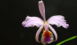 Cattleya mossiae | by W. Pfennig