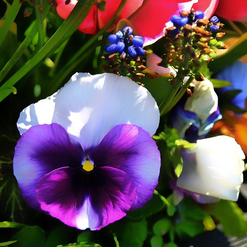 Sonnenberg Gardens & Mansion Historic Park ~ Canandaigua NY  -  Pansy Flowers | by Onasill ~ Bill Badzo - OFF