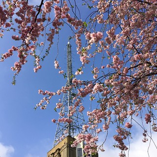 Alexandra Palace cherry blossom 2018 | by Fran Pickering