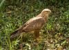 Common (Steppe) Buzzard (Buteo buteo vulpinus) by piazzi1969