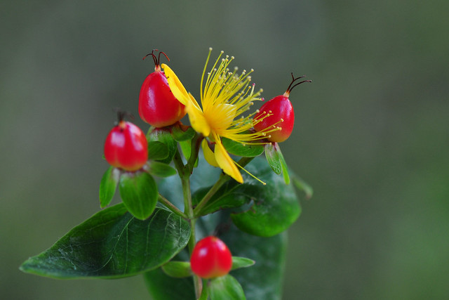 Hypericum Inodorum Magical Red Fame (Millepertuis Androsème)