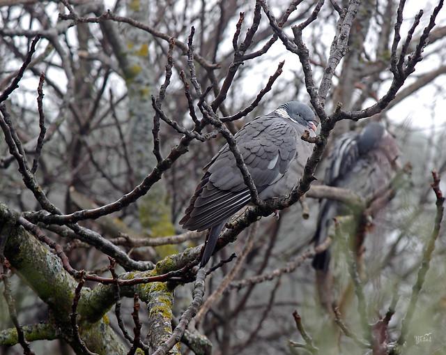 Torcaces en invierno (Columba palumbus)