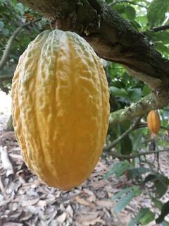 Cacao_ Evans Okomeng.jpg