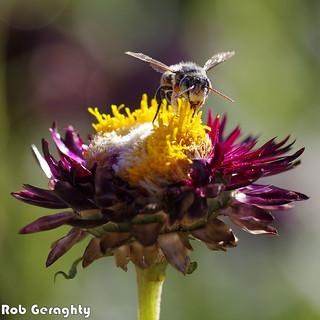 Worn Bee on Worn Daisy | by RobGeraghty