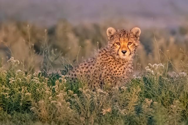 Cheetah Cub in the Wildflowers