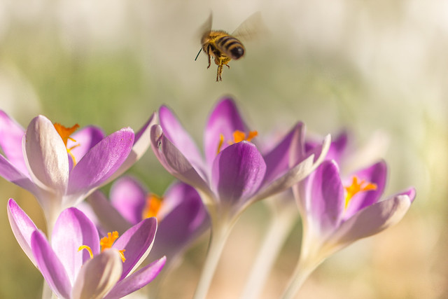 Even if the bee leaves, spring is surely approaching!