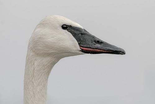 Trumpeter Swan Portrait