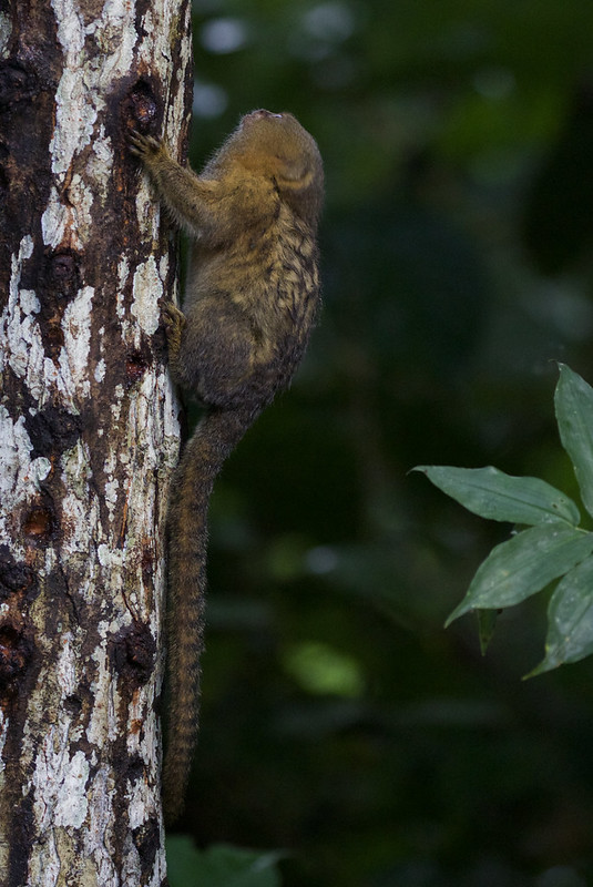Pygmy Marmoset, Cebuella pygmaea Ascanio_Peruvian Amazon 199A7018