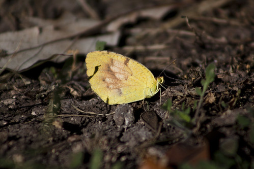 Sleepy Orange Butterfly   by Oceanic Wilderness