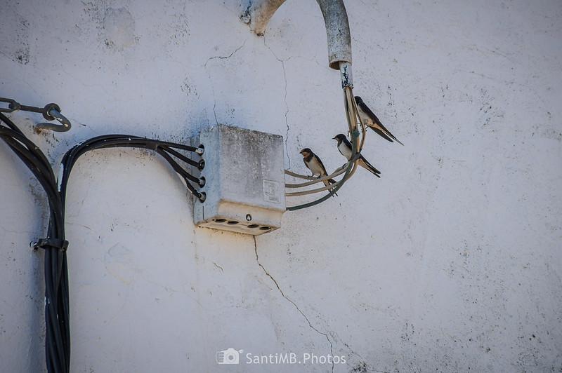 Golondrinas posadas en unos cables