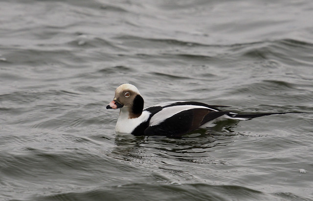 Long-tailed Duck _ Clangula hyemalis