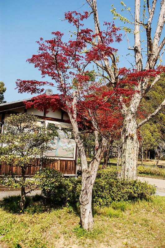 日本紅楓 1