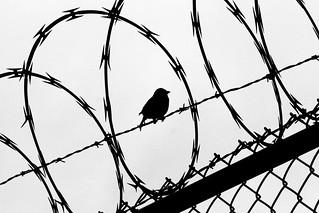 Birded Wire, 2