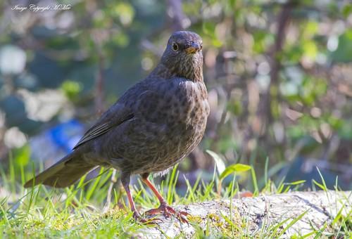 Mrs Blackbird. ( Explored )
