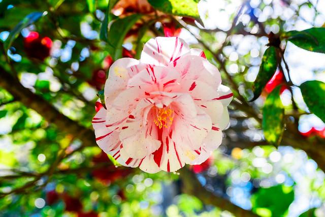 Camellia japonica 'Fukiage-shibori  : ツバキ(吹上絞)