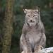 Lynx on a fallen tree
