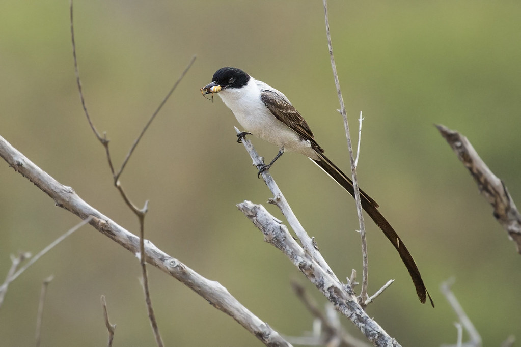 Fork-tailed Flycatcher (Tyrannus savana) 8 032019