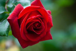 Red Rose | by mikemac29