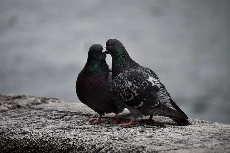 Pigeons 11.04 (9)