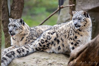 Irbis / levhart sněžný / Snow leopard (Panthera uncia) | by Michal Hruby Photography