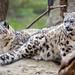 Irbis / levhart sněžný / Snow leopard (Panthera uncia)