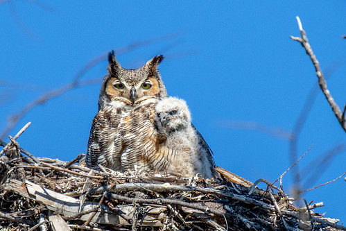 outdoor nature wildlife 7dm2 canon florida bird ftdesoto ft raptor owl nest
