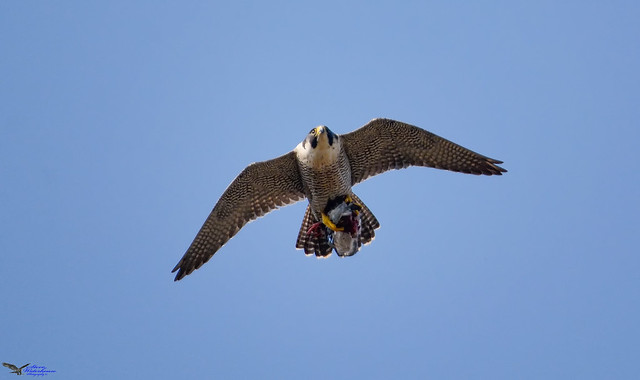 Adult female Peregrine with a catch.