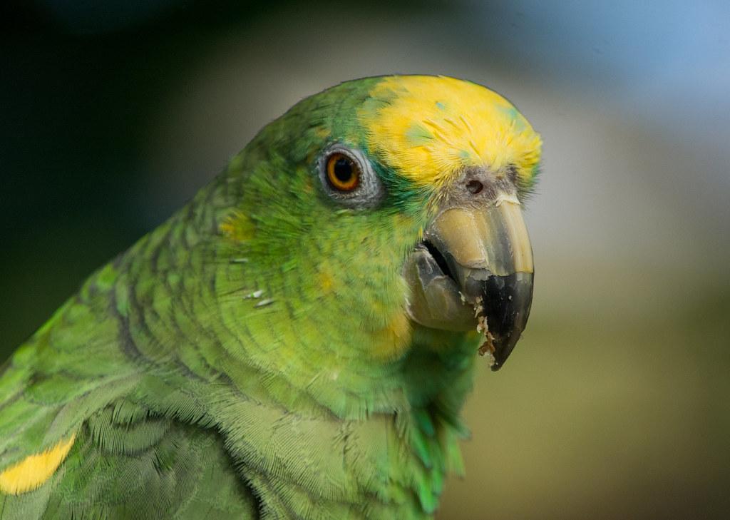 Yellow-crowned Parrot (Amazona ochrocephala)
