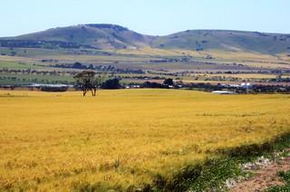 Lochiel. Barley fields in spring near Lochiel South Australia.