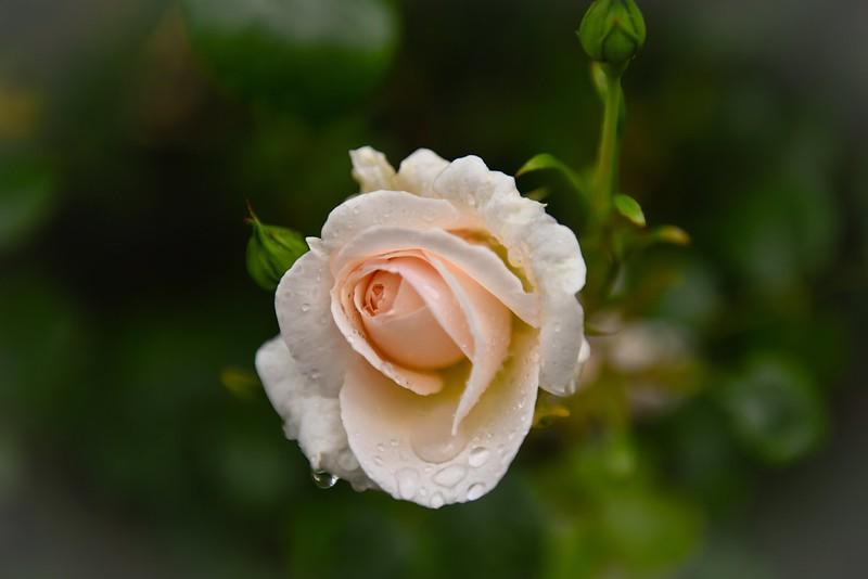 Обои капли, фон, роза, лепестки, бутоны картинки на рабочий стол, раздел цветы - скачать